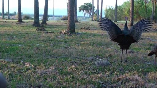 Turkey stretching his wings (37)