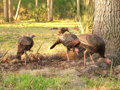 Bull Creek Osceola Turkey 3-14-12 2 087