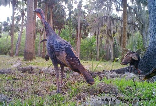 Bull Creek Osceola Turkey Gobbler Standing Tall - LS