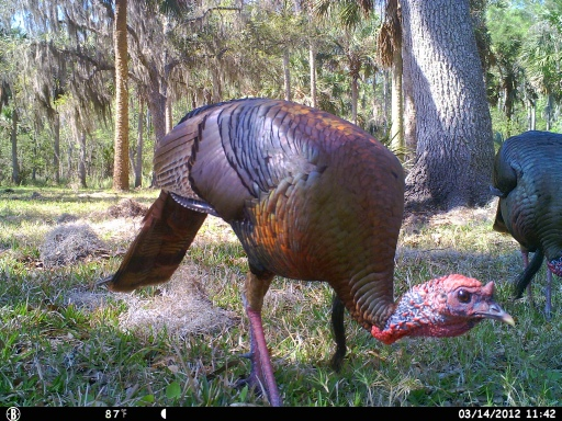 Bull Creek Osceola Turkeys 3-16-12 cam 204