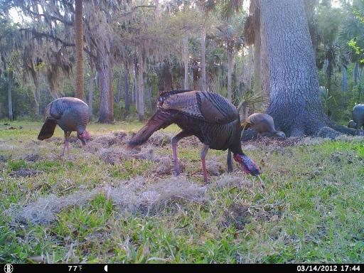 Bull Creek Osceola Turkeys 3-16-12 cam 339