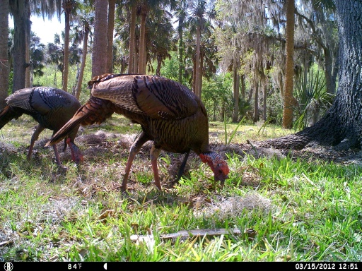 Bull Creek Osceola Turkeys 3-16-12 cam 427
