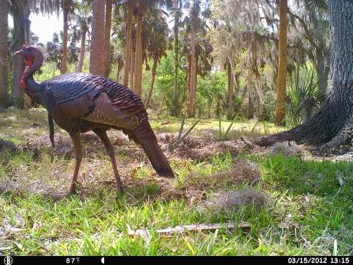 Bull Creek Osceola Turkeys 3-16-12 cam 492