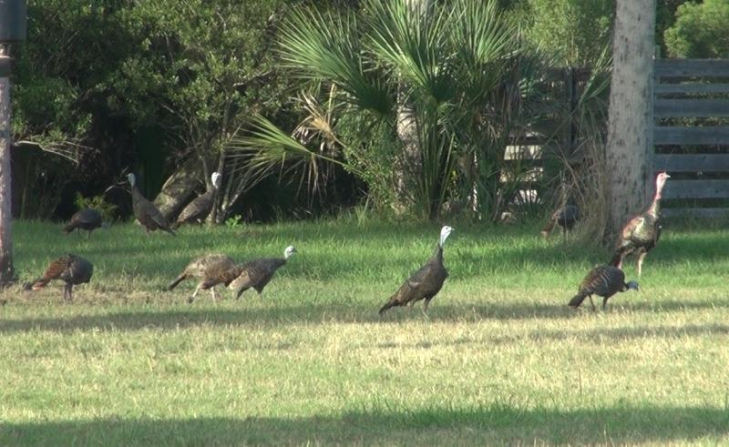 Fall Osceola Turkey Flock 10-14-12 10
