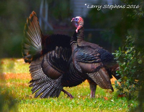 Wild Turkeys by Larry Stephens 1-31-16 10c