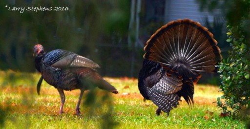 Wild Turkeys by Larry Stephens 1-31-16 c