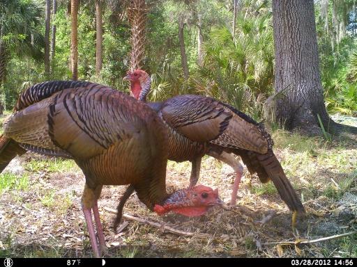 Florida Gobblers