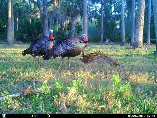 Pair of Beautiful Florida Gobblers