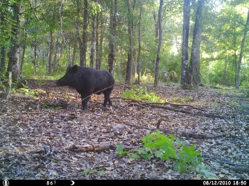 Big Black Florida Boar Hog
