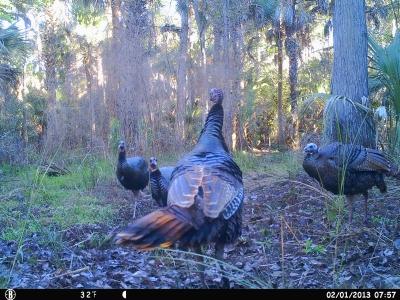 Turkey trail cam pics #1