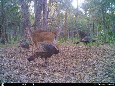 Deer feeding with turkeys Trail Camera