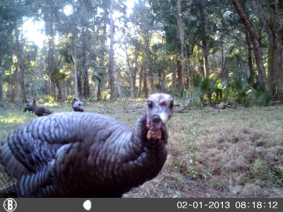 Bull Creek Turkeys on Trail Cam20