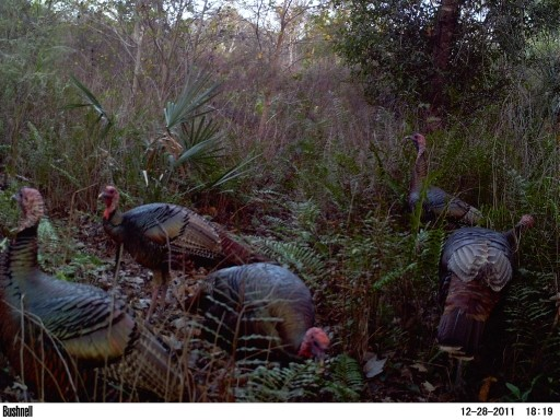 Mature Fall Gobblers