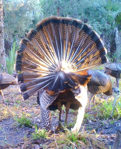 Florida Gobbler 14
